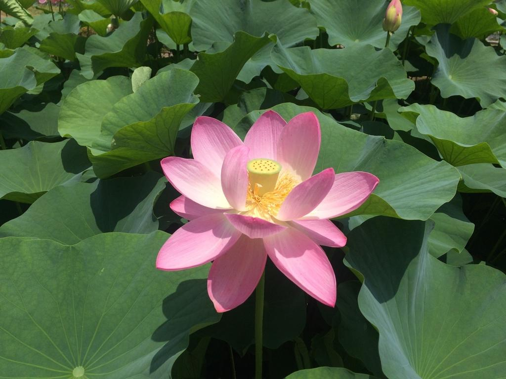 Chiba City Chiba Japan Japanese Lotus Flower